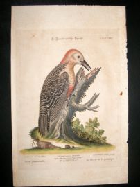 Edwards Seligmann C1760 Folio Hand Col Bird Print. Woodpecker of Jamaica